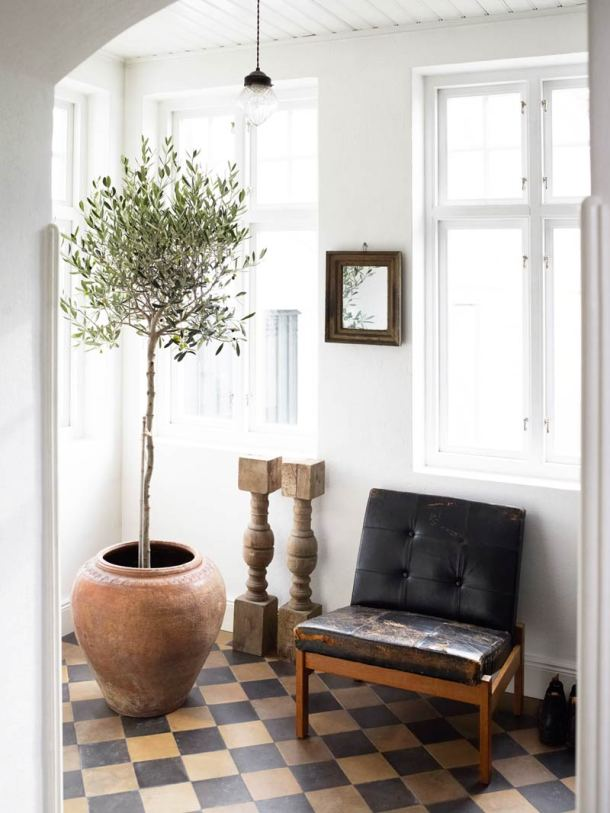 Indoor Olive Tree | Thou Swell