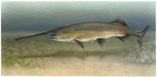 1280px-Paddlefish_Polyodon_spathula