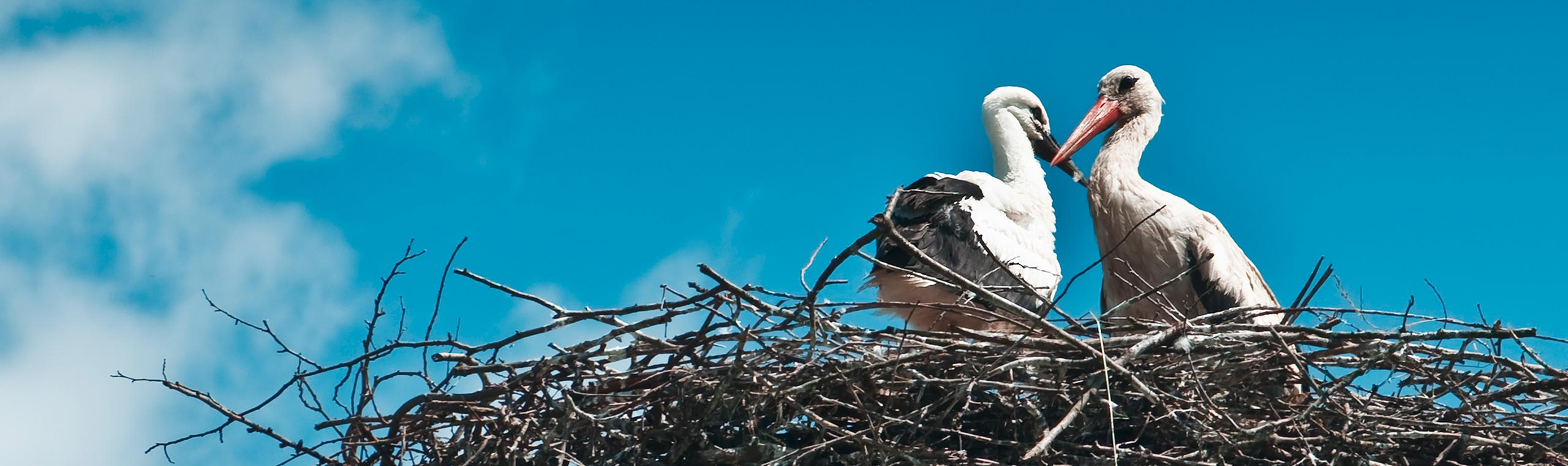 Stoerche im Nest