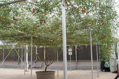 rosia pom