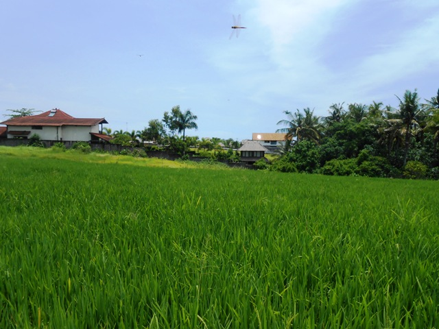 Land in Canggu for sale 20 Ares in Canggu  Bali