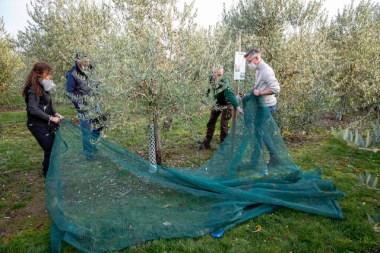 1-Olivenernte.Stommeln