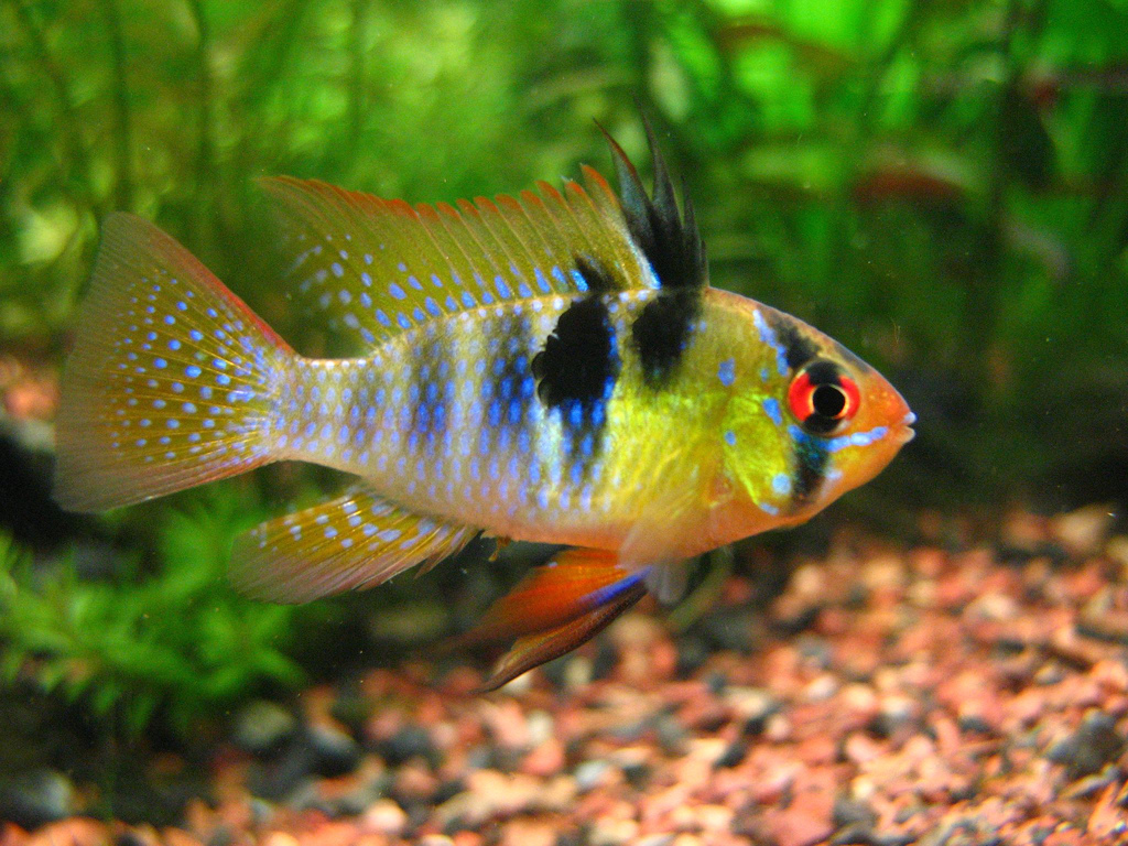 5 Most Non Aggressive Cichlids Land Of Fish