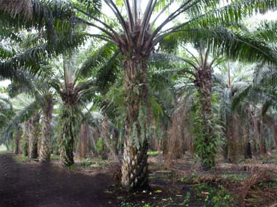 Old Palm Oil Tree