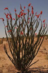 Ocotillo Plant Care Arizona Living Landscape Amp Design