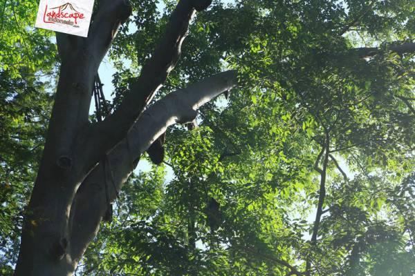 pohon lebah madu hutan di perjalanan menuju Larantuka