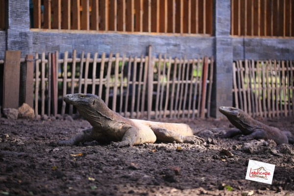 komodo d2 30 - Komodo Day 2 : Bertemu Komodo di Rinca