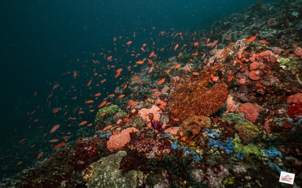 full of red anthias at batu bolong