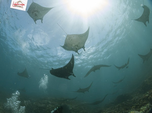 komodo 100 mantaalley 04 - Komodo Diving Log Day 100 : Ocean Full of Manta