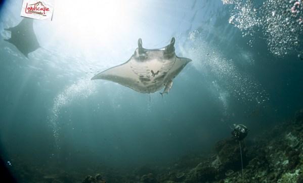 komodo 100 mantaalley 06 - Komodo Diving Log Day 100 : Ocean Full of Manta