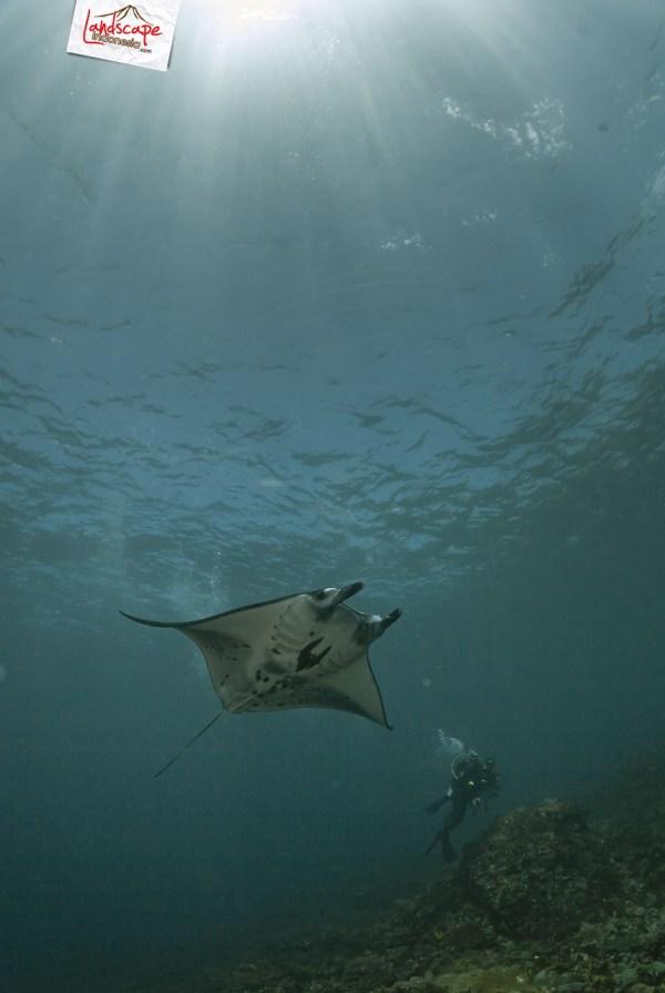komodo 100 mantaalley 13 - Komodo Diving Log Day 100 : Ocean Full of Manta