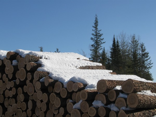 Cut logs waiting for collection in the snow