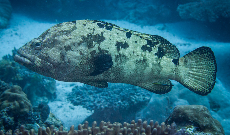 A brown-marbled grouper. Photo © Mark Priest