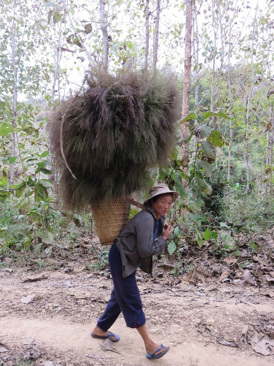 Woman collecting broom grass