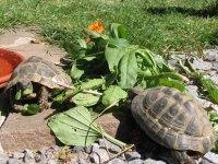 Futterpflanzen fuer Landschildkroeten