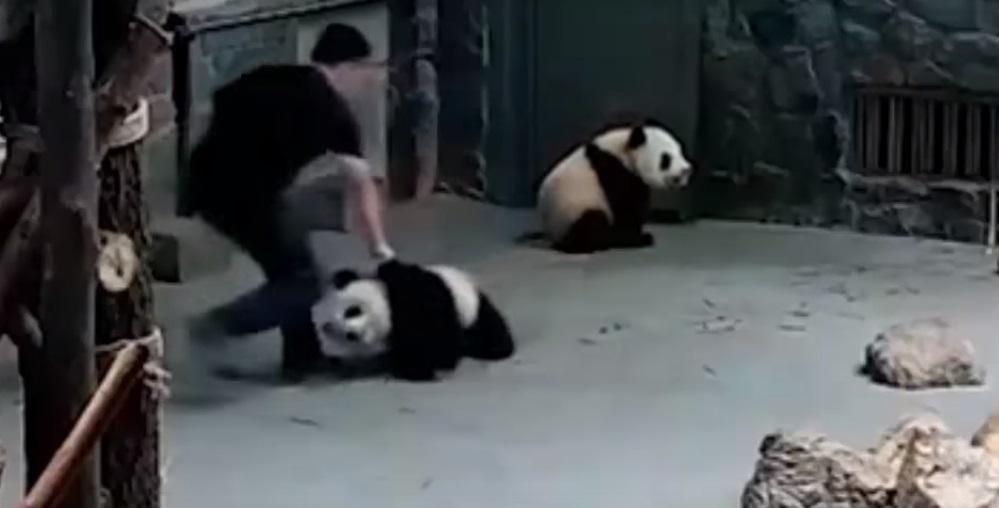 Cachorros de oso panda son maltratados por sus cuidadores — China