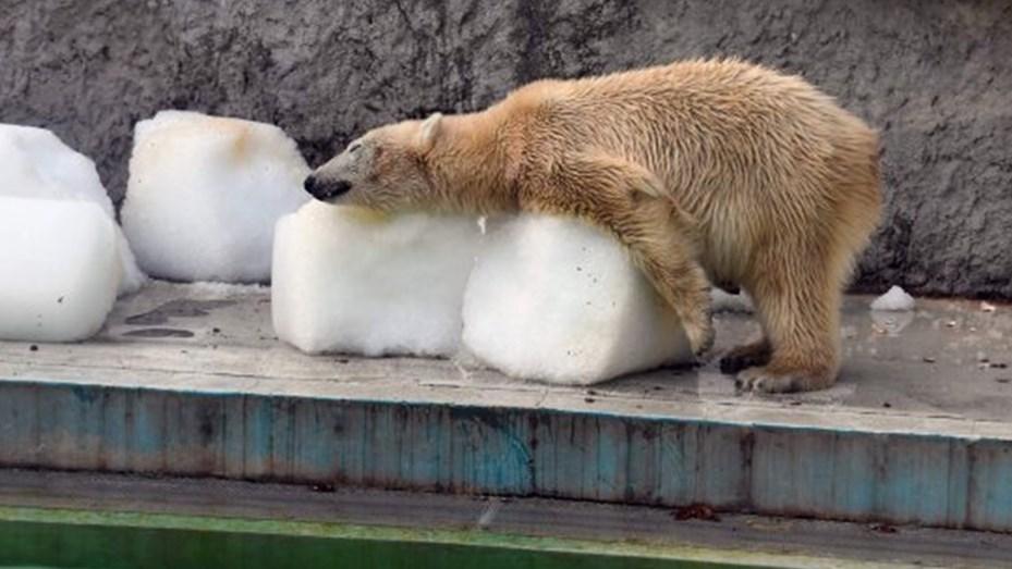 Dolorosa foto de osos polares que sobreviven a 40° en un zoo