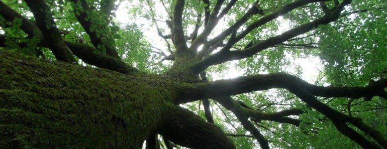 albero-barone-rampante