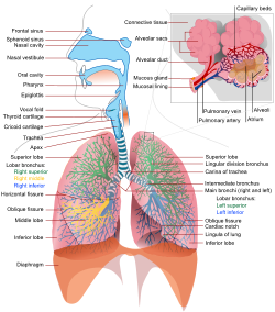 Speech and the respiratory system language bits a graph of the respiratory system ccuart Images