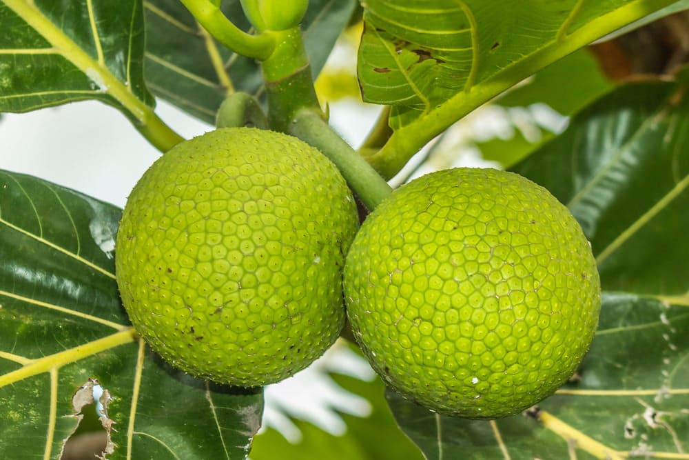 Breadfruit heath benefits