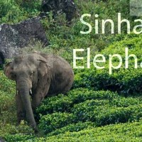 Subject minister bullish on relocation of Sinharaja elephants; Harshana; Sri Lanka News Papers