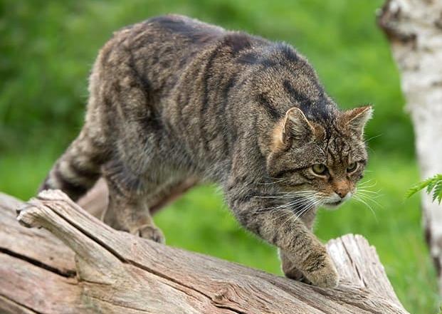 Il gatto selvatico in Sicilia
