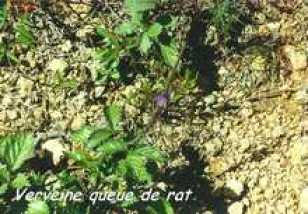 verveine-queue-de-rat.jpg
