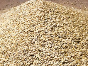 Buy Wheat Grains