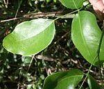 daun kayu merbau