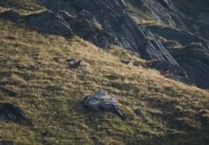 cervo maschio con femmine al seguito