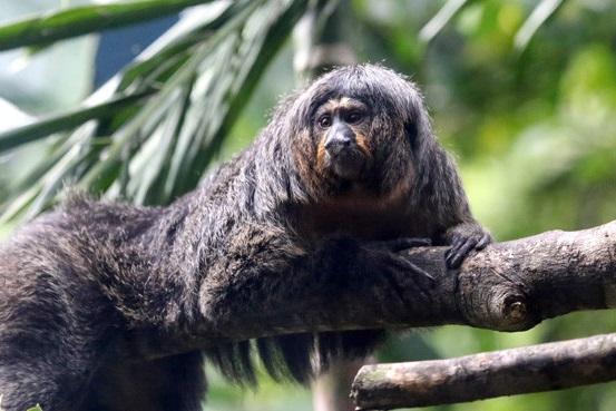 Mono causa impresión con sus músculos de culturista