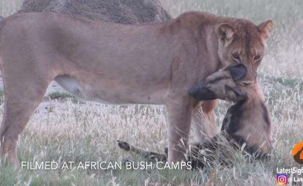 Perro salvaje finge estar muerto para huir de leona