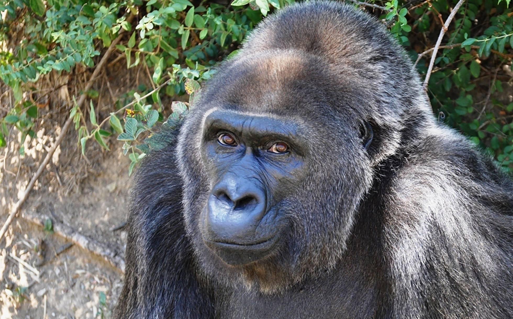 Muere a los 63 años, Trudy la gorila en cautiverio más vieja
