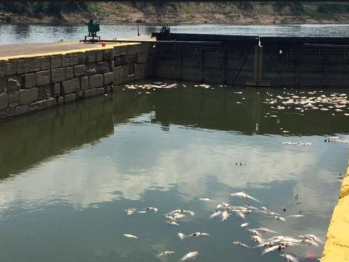 Por una explosión, miles de peces mueren ahogados en whisky