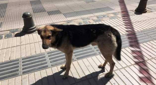 El perro 'Orejón' vive en Andacollo, en la región de Coquimbo, Chile. Foto: Cortesía El Andacollino.
