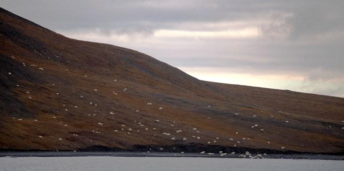 osos polares devorando el cadaver de una ballena (1)
