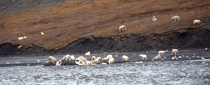 osos polares devorando el cadaver de una ballena (2)