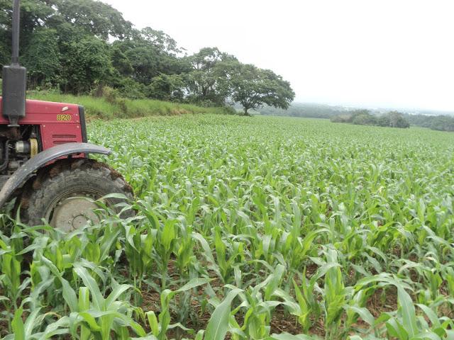 Siembra-de-maíz