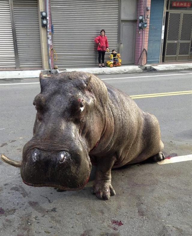 Un hipopótamo permanece herido en la calle tras saltar de un camión en marcha que le llevaba al Zoo Sky en Taichung (Taiwan) el pasado 26 de diciembre de 2014. El hipopótamo captó la atención mediática del país al difundirse un video en internet en el que aparecía con lágrimas en los ojos y una expresión de dolor tras romperse una pierna y varios dientes. Tras el incidente, el animal fue trasladado a una granja para recuperarse, pero volvió a sufrir otro accidente cuando el contenedor en el que estaba siendo trasladado cayó desde 2 metros de altura. El animal ha fallecido hoy, lunes 29 de diciembre de 2014. EFE/Str