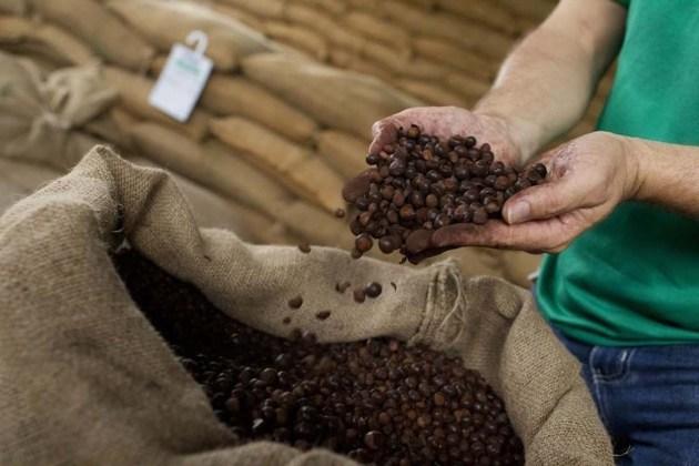 En la imagen, semillas de café molido en una hacienda en Maues, en el este de Manaus, Brasil. El Gobierno de Brasil estimó que la cosecha de café para este año sería similar a la del 2014, que estuvo golpeada por una sequía, y pronosticó un clima normal durante marzo, aliviando las preocupaciones por más pérdidas en el mayor productor mundial del grano. REUTERS