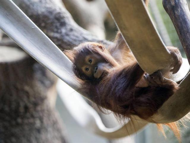 Una cría de orangután de Sumatra juega en el zoo de Zúrich (Suiza) hoy, 15 de julio de 2015. EFE/Patrick B. Kraemer