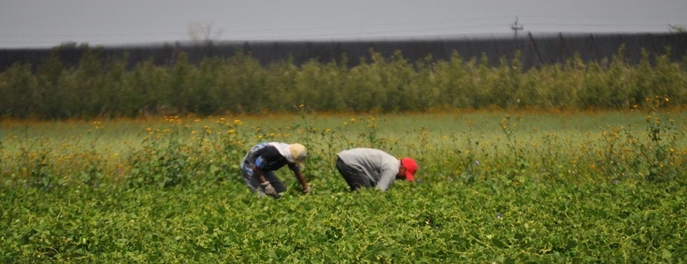 Suspendido, apoyo de Estado y Federación para frijol y maíz a Cuauhtémoc
