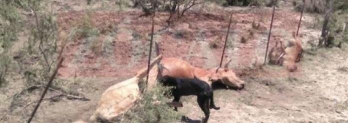 Mata tromba a más de 50 reses en Múzquiz