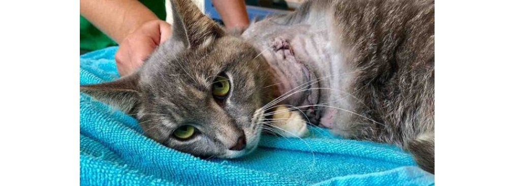 Amputan pata a gatito; le amarraron pirotecnia en el cuerpo