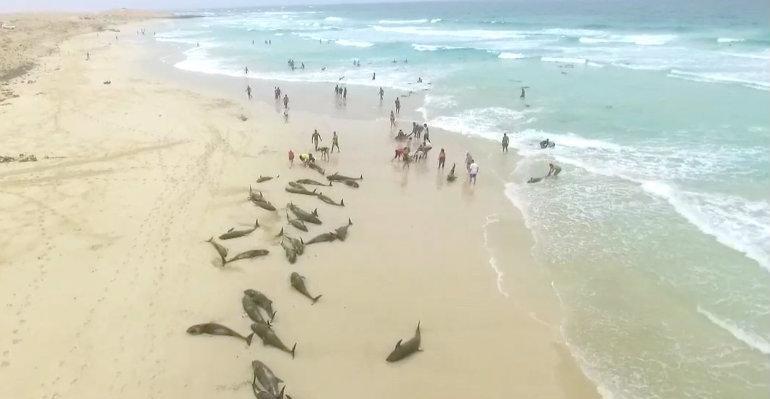 Centenar de delfines quedan varados en costa de Cabo Verde (VIDEO)