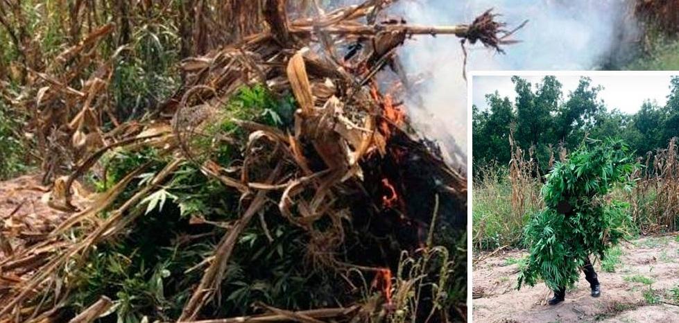 Destruyen plantío de mariguana en Parral