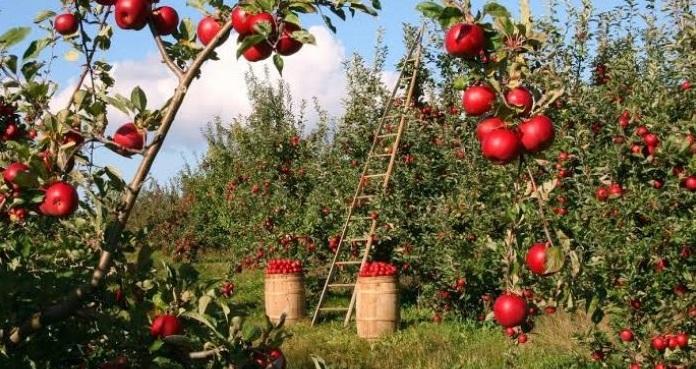 Venden productores de Namiquipa manzanas a 15 pesos el kilo en la depor