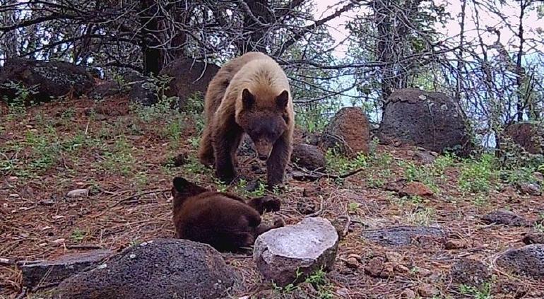 Extinguen incendio forestal en reserva de Campo Verde, Chihuahua