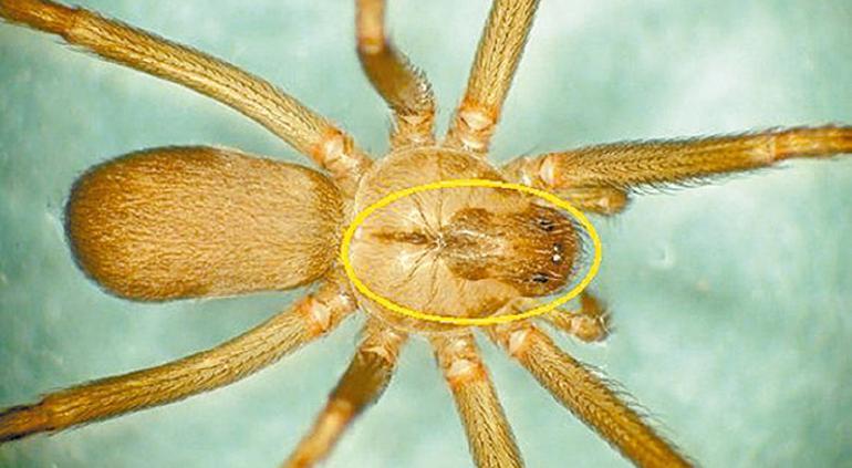 Estas son las arañas peligrosas de las que debes cuidarte en Chihuahua