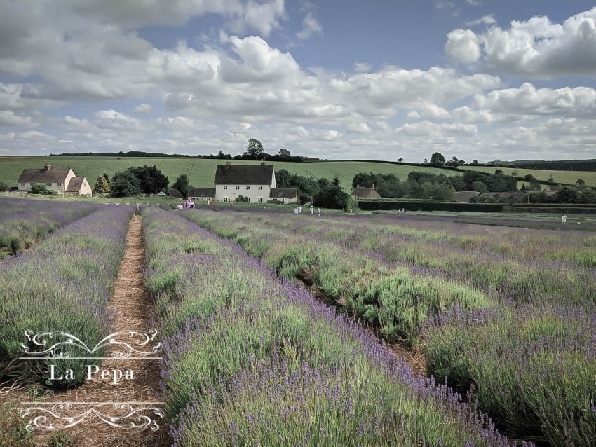 Green Travellers | A Day in Cotswold Lavender Farm 9